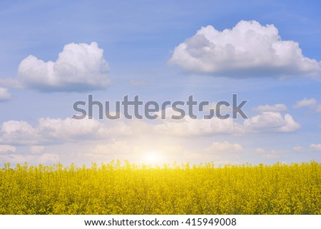 bright yellow canola field with flowers and blue sky with volumetric clouds, pushes on it. Bright sun low on the horizon flood all around its warm light.  - stock photo