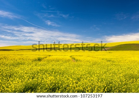 Bright Yellow Canola Fields under Blue Sky
