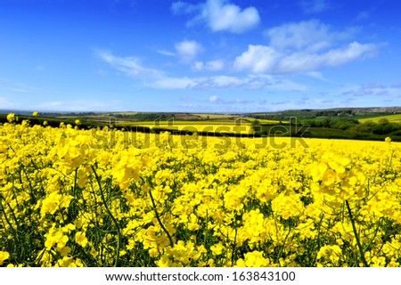 Bright yellow canola or rapeseed field in bloom against blue sky and white clouds in Cornwall - stock photo