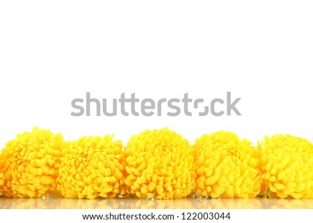 bright yellow chrysanthemums, isolated on white - stock photo