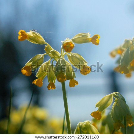 Bright yellow Cowslip flowers growing wild in the Cotswolds, rural English countryside with Spider sewing a web on a pale yellow leaf. Taken in Spring.  - stock photo