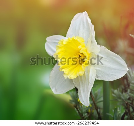 bright yellow daffodil in a garden - stock photo
