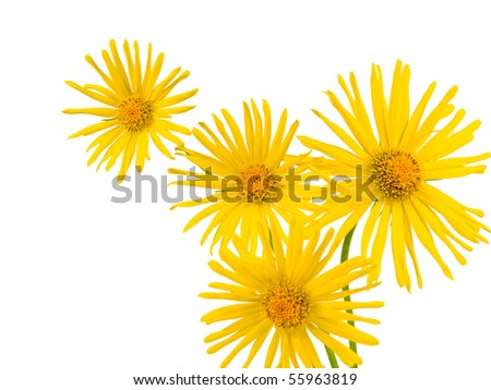 Bright Yellow Daisy Isolated on a White Background - stock photo