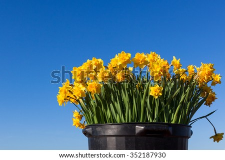 Bright yellow double petal daffodils in a large black pot and a blue sky background.