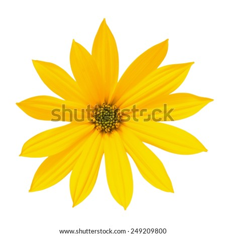 Bright yellow flower isolated on white background - stock photo