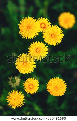 Bright yellow flowers of a dandelion on blurred background - stock photo