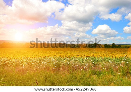 Bright yellow flowers sunflower field landscape nature background