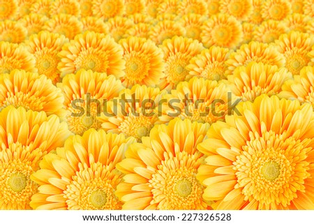 Bright yellow gerbera flowers horizontal background