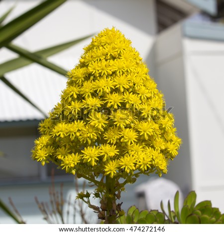 Bright yellow large conical vivid flower stock photo edit now bright yellow large conical vivid flower head and leaves of succulent aeonium arboreum sempervivum arboreum mightylinksfo