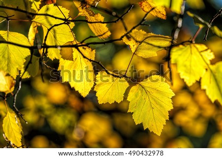 Bright yellow leaves in Autumn in Cannon Hill Park in Spokane, Washington.