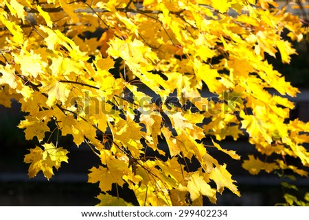 Bright yellow maple foliage in fall, autumn on a sunny day in front of darkness, background - stock photo