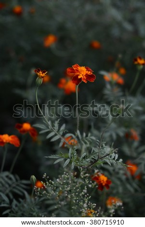 Bright yellow orange and red marigold flowers in the garden. Selective focus.Beautiful Marigolds. toned photo - stock photo