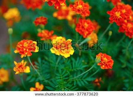 Bright yellow orange and red marigold flowers in the garden. Shallow depth of field. Selective focus. - stock photo