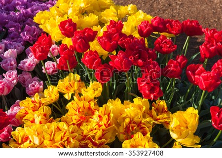 Bright yellow, red, pink, and purple tulip flowers in spring at a family farm in Oregon. - stock photo