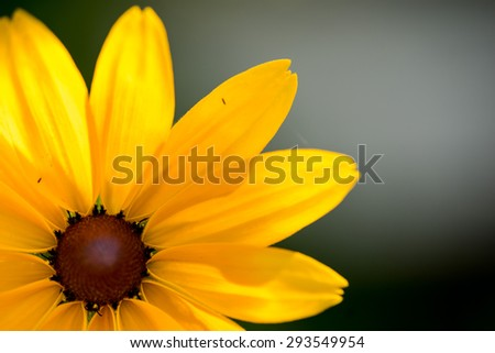 Bright yellow rudbeckia or Black Eyed Susan flower in the garden - stock photo