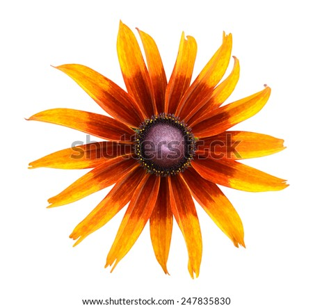 Bright yellow rudbeckia or Black Eyed Susan flower. Isolated white background  - stock photo