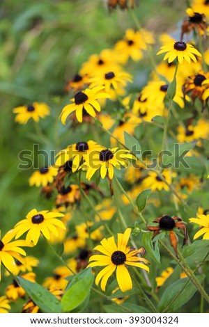 Bright yellow rudbeckia or Black Eyed Susan flowers in the garden  - stock photo
