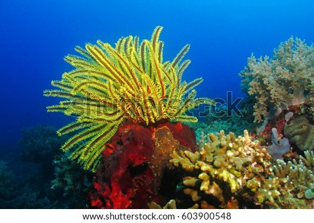 Bright yellow sea lily on the red coral reef in the deep blue ocean. Colorful red and yellow tropical reef with corals and underwater plants.