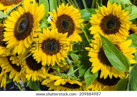 Bright yellow sunflower blossoms in full bloom