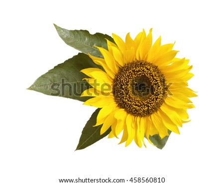 bright yellow sunflower isolated on white background