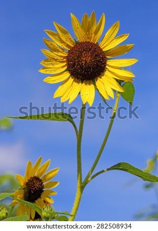 Bright yellow sunflower on blue sky  - stock photo