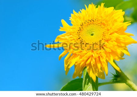 Bright yellow sunflower on blue sky background. Sunflower background. Sunflower seeds.