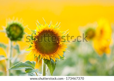 Bright yellow sunflower on sunny day - stock photo