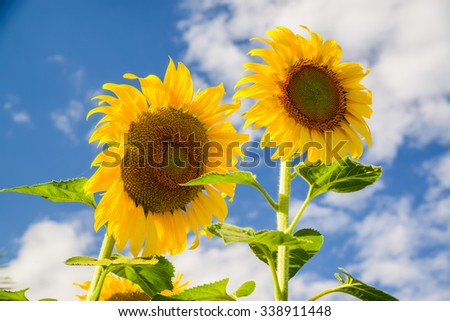 Bright yellow sunflower over blue sky - stock photo