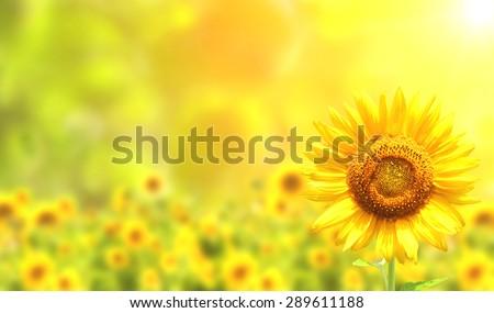 Bright yellow sunflowers and sun - stock photo