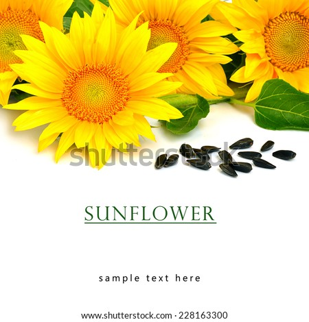 Bright yellow sunflowers and sunflower seeds isolated on the white background - stock photo