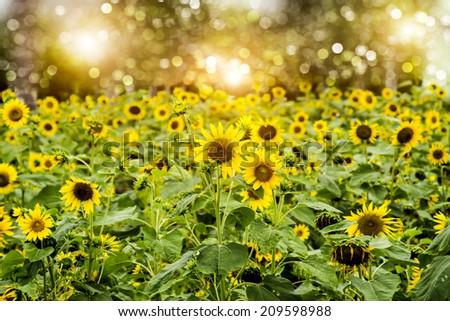 Bright yellow sunflowers field. - stock photo