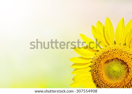 Bright yellow sunflowers with bokeh blur and sunlight. - stock photo