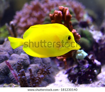 bright yellow tropical fish swimming in the warm sea in the midst of algae