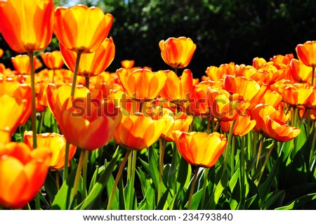 bright yellow tulips - stock photo