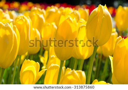 bright yellow tulips in the garden on a Sunny day - stock photo
