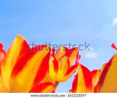 Bright yellow tulips with blue sky, back light