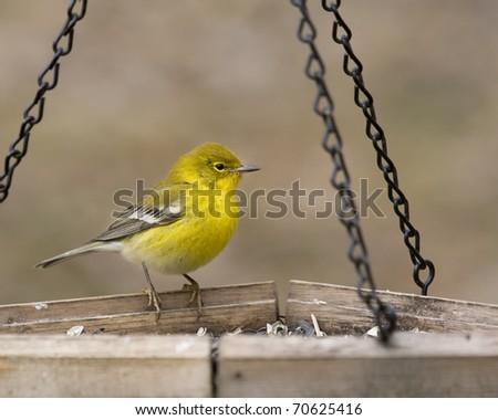 Bright yellow warbler sitting on bird feeder - stock photo