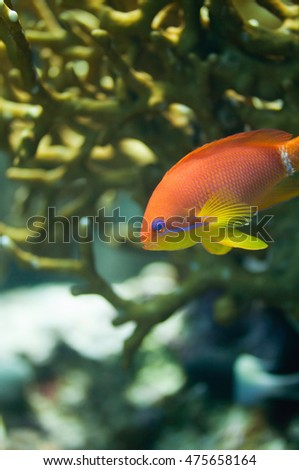 Brightly colored Anthias fish swimming through the fire coral shade. Macro image, focus set on the face, very shallow depth of field
