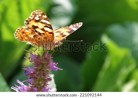 brightly colored butterfly or moth in a garden with proboscis seeking nectar - stock photo