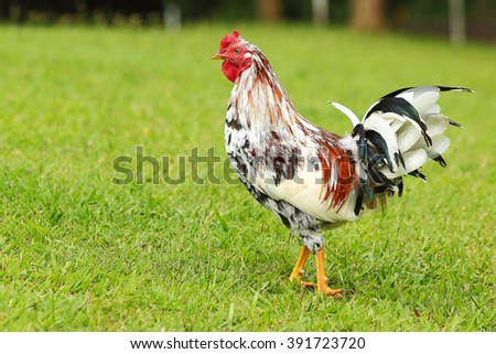 brightly colored feral roosters roam free in Hawaii - stock photo