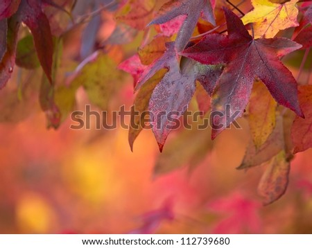 Brightly colored maple leaves during autumn - stock photo
