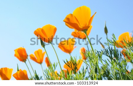 brightly colored orange poppies with diaphanous petals against a clear blue sky - stock photo