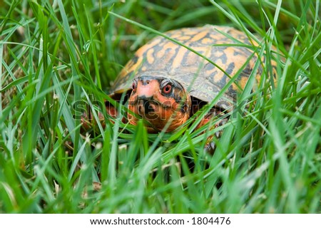Brightly colored painter turtle crawling through green grass. - stock photo