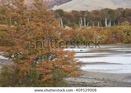 Brightly coloured autumn foliage on trees and shrubs in Patagonia, southern Chile. - stock photo
