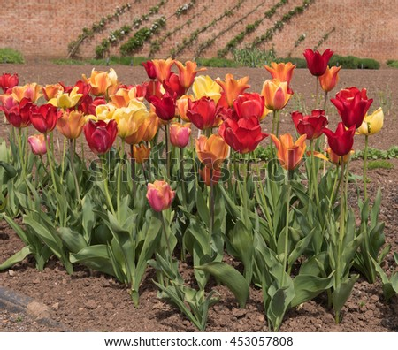 Brightly Coloured Tulips (Tulipa) in a Garden in the Rural Village of Wraxall in Somerset, England, UK.