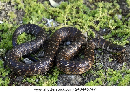 Brilliant Amazon watersnake (Liophis taeniogaster)