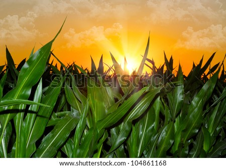 Brilliant orange sunrise over a Corn field in Iowa, with a bright yellow sun on a cool spring morning.