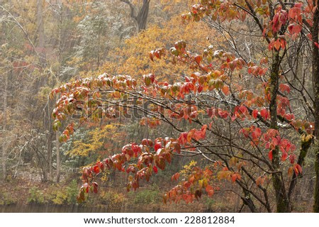 Brilliant read leaves in an autumn snowstorm in the Smoky Mountain National Park, Tennessee. - stock photo