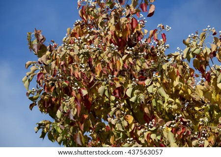 Brilliant red , yellow , brown and green  sycamore Platanus occidentalis foliage of deciduous trees in autumn  add color to the garden and park land scape as the leaves fall to the ground below.