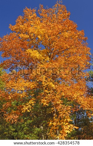 Brilliant Tree on a Sunny Fall Day along the Blue Ridge Parkway in Virginia - stock photo